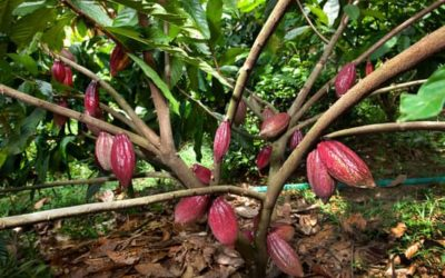 La culture de cacao en agroforesterie
